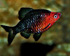 Tropical Aquarium, Tropical Fish, Aquarium Fish, Aquarium Ideas, Discus Fish, Betta Fish, Fish Fish, Animals Live In Water, Black Ruby