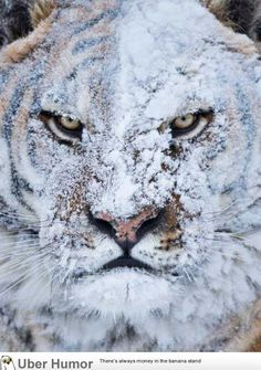 Funny pictures about Tiger After Snow Fight. Oh, and cool pics about Tiger After Snow Fight. Also, Tiger After Snow Fight photos. Nature Animals, Animals And Pets, Funny Animals, Cute Animals, Wild Animals, Angry Animals, Fierce Animals, Wildlife Nature, Baby Animals
