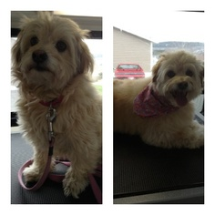 Before & After! Lilly is such a cutie and loves her regular Spaw days and that WE come to her! http://www.aussiepetmobile.ca/locations-map/newfoundland-labrador/