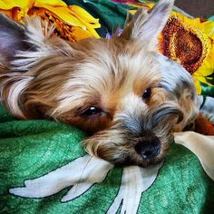 Falling a sleep Asuka the #Yorkie #yorkeezz #yorkshireterrier #yorkiediaries #yorkielife #yorkiesarethebest #instayorkie #yorkiegram #йоркикручевсех #йоркширскийтерьер