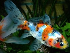 All Pond Fish | Small goldfish, shubunkins, and comets are all great fish to start ...