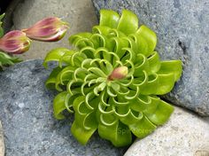 Spiral fractal forms in nature - alstroemeria-losmolles Unusual Plants, Rare Plants, Exotic Plants, Exotic Flowers, Rare Flowers, Growing Succulents, Cacti And Succulents, Planting Succulents, Planting Flowers