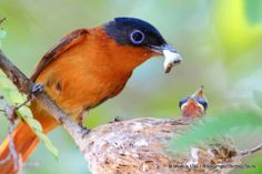 female Madagascar Paradise Flycatcher and her offspring