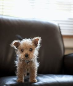 10 Cool Facts About Yorkshire Terriers - Dogs Tips & Advice   mom.me
