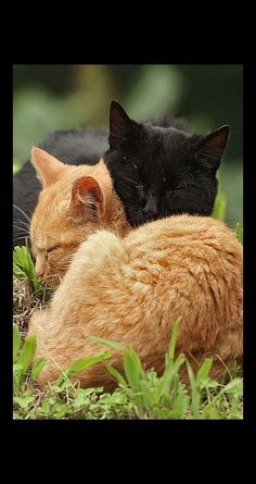 adorabel cats in love ... 💙💖💛💙💖💛 #black red cat kitten kitty kitties cute love #by vic_206 on flickr.com