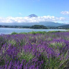 Lavender Fields in Mount Fuji