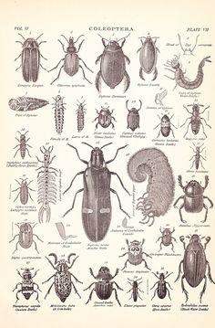 1901 Insect Print - Beetles- Vintage