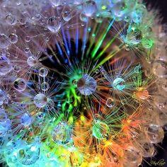 Dew drops on a dandelion