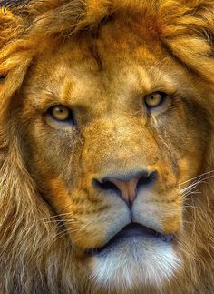 Beautiful Lion face up close. Lion of Judah. Beautiful Cats, Animals Beautiful, Big Cats, Cats And Kittens, Animals And Pets, Cute Animals, Funny Animals, Photo Animaliere, Lion Of Judah