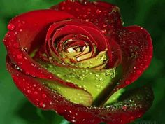 Lime & Red Rose
