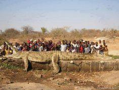 Encontraron un cocodrilo enorme de 7 metros de largo y 1200 kg de peso - http://www.leanoticias.com/2012/12/18/encontraron-un-cocodrilo-enorme-de-7-metros-de-largo-y-1200-kg-de-peso/