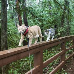 Fish and Chips, Two Adventurous Cats Who Love Exploring the Great Outdoors With Their Humans