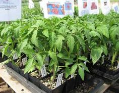 How to measure tomato seedlings for success before planting into your garden.data-pin-do=
