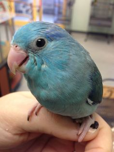 Baby Parrotlet is growing up!