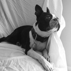 Deep thoughts by Bowden / I ♥ Boston Terriers...