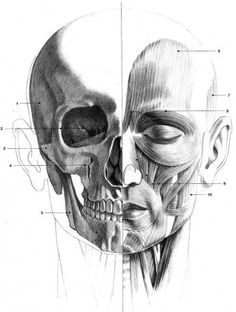 Face : os et écorché (not my creation). Anatomy Sketches, Art Sketches, Art Drawings, Drawing Cartoon Faces, Drawing Heads, Anatomy Sculpture, Sculpture Art, Figure Sketching, Figure Drawing