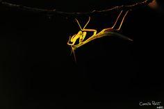 """""""Trait de lumière"""", photo by Camile Poirot (Mantis religiosa)"""