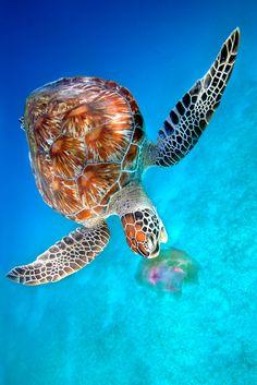 HAVE A NICE DAY — imalikshake: Green Turtle eating Jellyfish -...