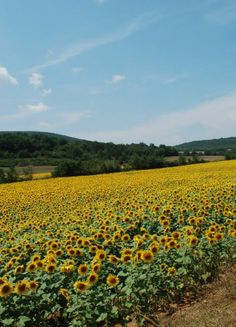 Eternal fields of sunflowers in Tuscany - saw from the train from Rome to Civitavecchia Places Ive Been, Places To Go, Italy Honeymoon, Wedding Honeymoons, Sunflower Fields, I Want To Travel, Summer Travel, Italy Travel, Sunflowers