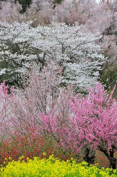 花見山,福島県 Hanamiyama,Fukusima,Japan