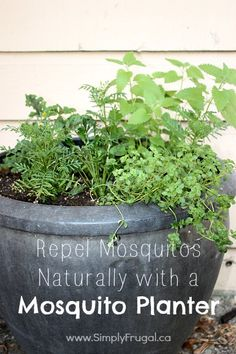 I mentioned in my first container garden update that I would do a separate post detailing the plants I have in the pot I deemed my 'Mosquito Planter'.  While we don't get a ton of mosquitoes, we do live by a creek (damp) so we do see them around and they...