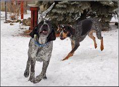 Bluetick coonhound play time! ❤️❤️❤️❤️❤️❤️❤️❤️❤️❤️❤️❤️