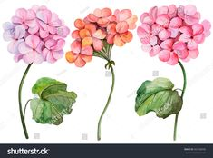 Find Watercolor Illustration Geranium Hand Drawn Painting stock images in HD and millions of other royalty-free stock photos, illustrations and vectors in the Shutterstock collection. Geranium Care, Geranium Flower, Geranium Tattoo, White Background Hd, Flower Tat, Art Portfolio, Watercolor Flowers, Watercolor Painting, Watercolor Illustration