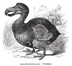 Dodo or Raphus cucullatus, vintage engraving. Old engraved illustration of a Dodo.