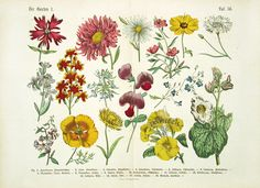Hoffman Botanical Print - 1886