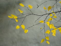Yellow Autumnal Brich (Betula) Tree Limbs Against Gray Stucco Wall by Images Monsoon. Photographic print from Art.com.