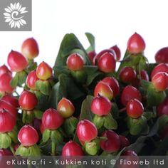 Marjakuisma, Hypericum x inodorum Gerbera, Cherry, Fruit, Food, Essen, Meals, Prunus, Yemek, Eten
