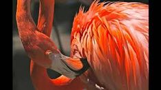 One of many great free stock photos from Pexels. This photo is about bird, close-up, flamingo