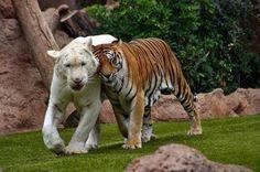 #animals #tiger