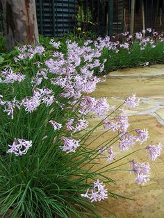 Tulbaghia Fairy Star Edging Plants, Garden Plants, Flower Names, Garden Gates, Fences, Fairy, Gardening, Star, Landscape
