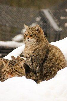 Wild Cats in the Snow! monikabaechler | Pixabay #freedownload