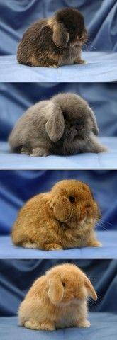 Home - Mini lop rabbits for sale