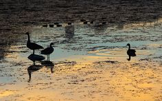 Geese enjoying a colorful fall evening Sandhills Western Vacations.com