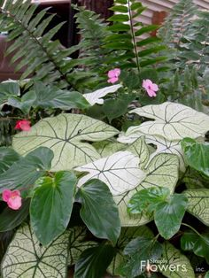 Beautiful flowers for a container gardening. Fern, Impatiens, Caladiums and Begonias. ...So pretty together!!
