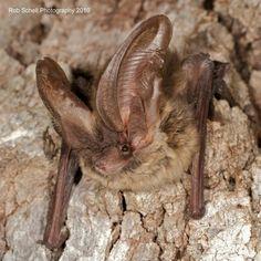 Allen's big-eared bat