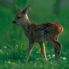 Roe Deer Fawn Greetings Card £1.99