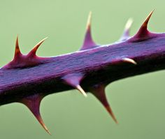Bramble Stem, common thorn in Palestine. Possibly the plant of the crown of thorns.