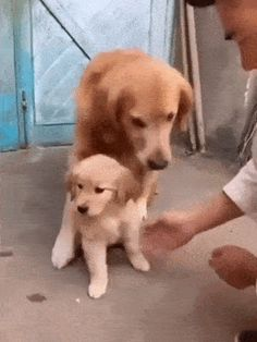 """This pup had the rest of its litter mates sold or given away. The owner was trying to """"shake paws"""" with the pup, but dad wasn't taking any chances! Funny Animal Pictures, Cute Funny Animals, Funny Cute, Funny Mom Memes, Funny Dogs, Cute Puppies, Cute Dogs, Puppies Gif, Cute Puppy Gif"""