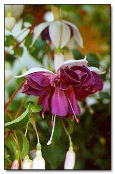 Fuchsia 'Golden Anniversary'