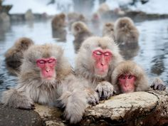 Japanese Macaques, Nagano - Photograph by Patrick Shyu, My Shot