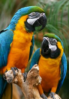 Blue and Gold macaw s