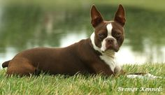 About Boston Terriers- descriptions and article