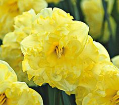 Narcissus 'Sunny Side Up' | From White Flower Farm