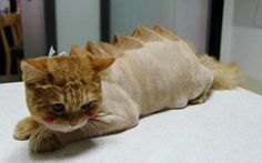 T-Rex: This cat goes for the Jurassic Park look. if this cat tears up your house, you asked for that! lol ijs Poor baby looks so embarrassed. Cat Haircut, Dog Haircuts, Haircut Fails, Animals And Pets, Funny Animals, Cute Animals, Funniest Animals, Animals Photos, Dragon Cat