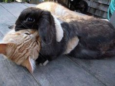 """A previous pinner said """"Cat Gives a Bunny a Hug"""" but to me it looks like that cat is going in for the kill"""