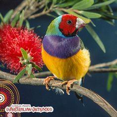 Gouldian Finch | Flickr - Fotosharing!
